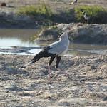 Secretary Bird, Serondela, Chobe National Park, Botswana